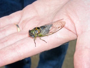 The annual Cicadas are rarely seen