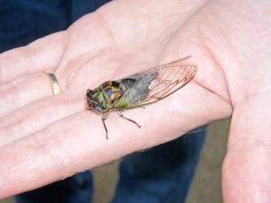 The annual Cicadas are rarely seen