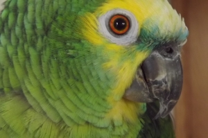 Think of her beak as a very sharp, strong can opener on the end of her face