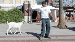 Spock the goat outside the Giants Stadium